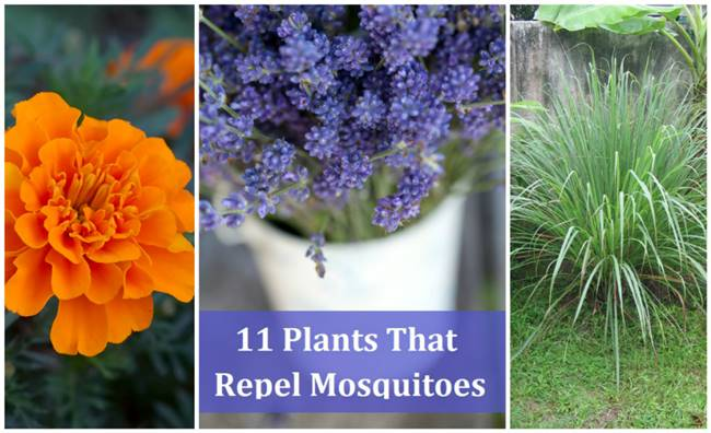 11 Plants That Naturally Repel Mosquitoes