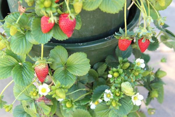 Creative Ideas - DIY Strawberry Tower With Reservoir 1