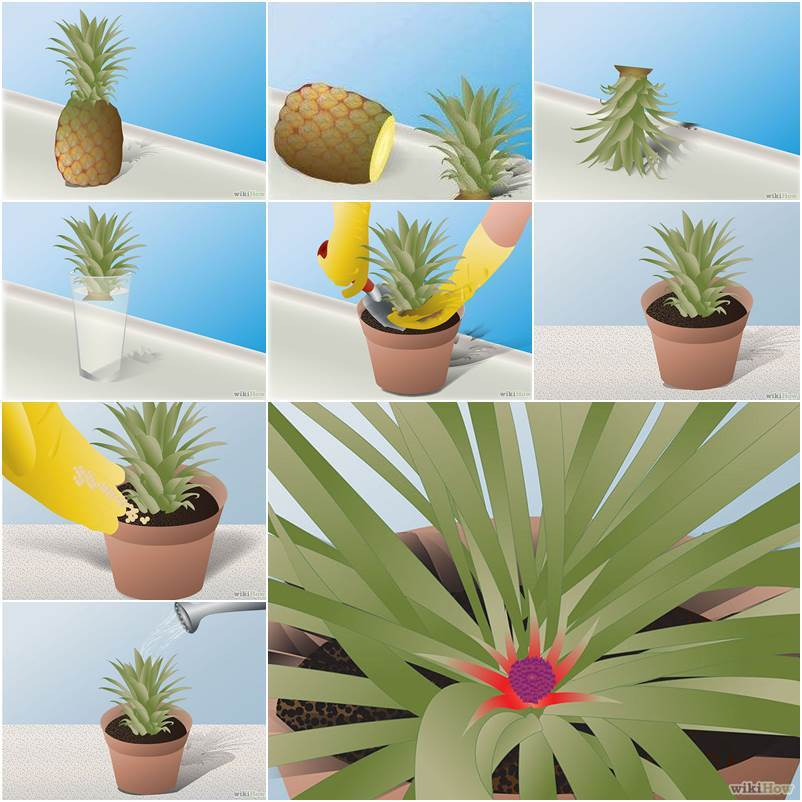 Diy How To Grow Pineapple In A Plant Pot