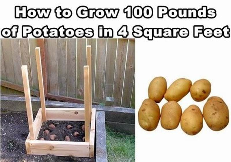 How to Grow 100 Pounds of Potatoes in Four Square Feet