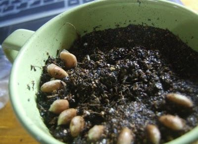 how to grow tulsi from seeds indoors