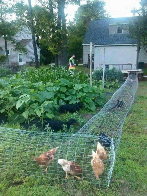 Creative Ideas   DIY Backyard Chicken Tunnel ...