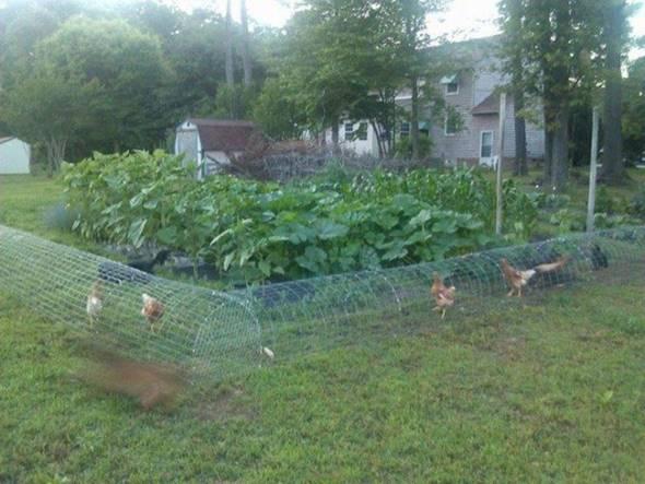 Creative Ideas Diy Backyard Chicken Tunnel I Creative